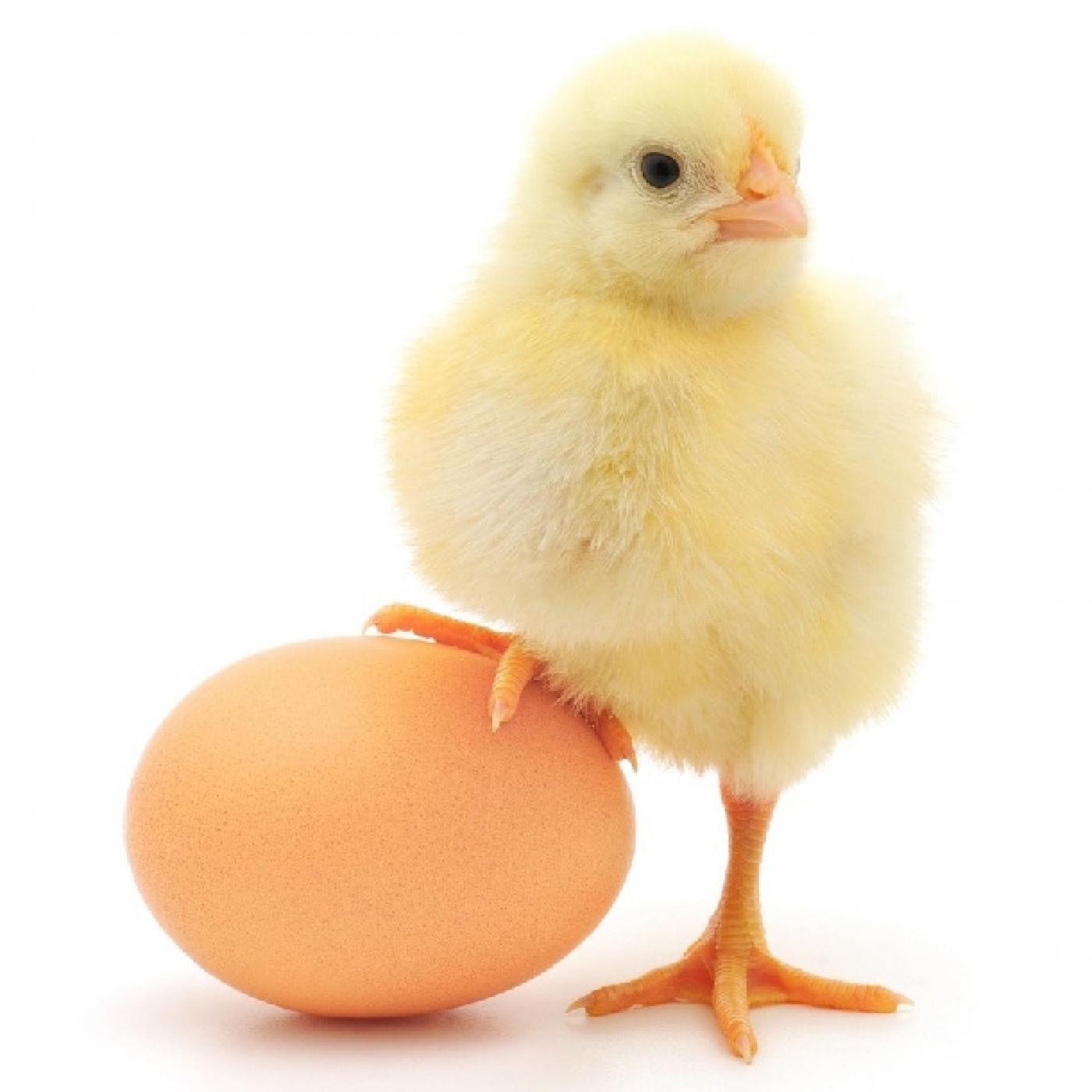 Giấc mơ liên quan đến gà mới nở