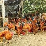Kỹ thuật chăn nuôi gà thả vườn theo hướng An toàn sinh học