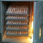 Quy trình kỹ thuật ấp trứng gà bằng máy