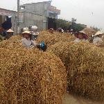 Phương pháp xử lý rơm làm thức ăn cho trâu bò