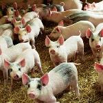 Hội chứng còi cọc ở lợn con sau cai sữa