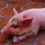 Bệnh phù đầu sưng mặt ở lợn con sau cai sữa