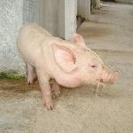 Một số bệnh thường gặp ở lợn và phương pháp điều trị