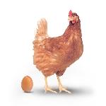 Kỹ thuật chăn nuôi gà thương phẩm giống siêu trứng HY-LINE và BABCOCK_B 380