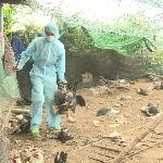 Các con đường lây truyền của bệnh cúm gia cầm H5N1