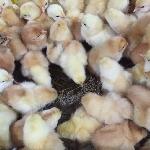 Những điều cần lưu ý khi nuôi gà ở tuần đầu