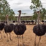 Quy trình kỹ thuật Chăn nuôi đà điểu (ostrich)