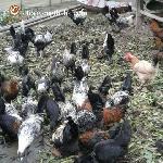 Quy trình chăm sóc nuôi dưỡng gà H'Mông thương phẩm