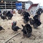 Kỹ thuật nuôi gà lôi ( gà Tây )