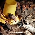Kỹ thuật chăn nuôi và phòng trừ dịch bệnh với giống gà ai cập