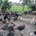 Chăn nuôi gà tây kiểu truyền thống