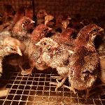 Một số lưu ý khi nuôi gà siêu trứng ai cập