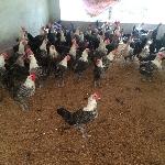 kỹ thuật nuôi gà siêu trứng ai cập