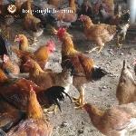 Kỹ thuật chăn nuôi gà mía lai