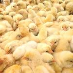 Kỹ thuật chăn nuôi gà giống