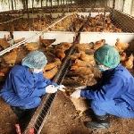 Kỹ thuật chăn nuôi và phòng trị bệnh cho gà