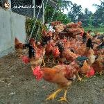 Kỹ thuật chăn nuôi gà thả vườn