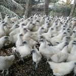 Kỹ thuật nuôi gà ác sinh sản