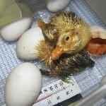 kinh nghiệm ấp nở trứng vịt