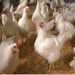 Đặc điểm giống gà AA (ARBOR ACSRES)