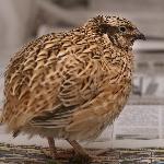 Kỹ thuật nuôi chim cút nhật bản