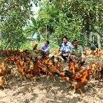 Hướng dẫn cách tính chi phí nuôi gà thả vườn 1000 con