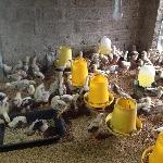 Vệ sinh, thức ăn, nước uống nuôi gà