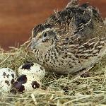 Kỹ thuật nuôi chim cút sinh sản