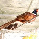 Xác định giới tính chim trĩ và một số loài chim khác