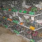 kỹ thuật nuôi và phòng bệnh chim bồ câu