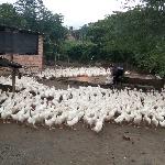 Quy trình nuôi vịt bố mẹ hướng thịt theo phương thức nuôi nhốt