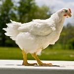 Vì sao gà Mỹ vào Việt Nam lại rẻ?