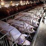 Chuỗi khép kín trong chăn nuôi – Mở đường cho sản phẩm sạch