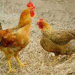 Nóng với gà lông màu