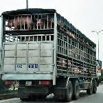 Thiếu cảnh giác, nông dân Việt lại dính đòn thương lái Tàu
