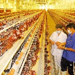 Thức ăn nuôi gà công nghiệp