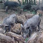 Thức ăn nuôi heo rừng lai