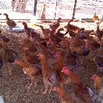 Tiêu chuẩn thức ăn cho gà hướng thịt