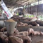 Biện pháp giảm chi phí thức ăn cho heo thịt
