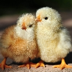 Hướng dẫn xác định giới tính cho gà con sau sinh