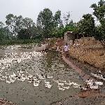 Giải pháp duy trì khả năng sinh sản của gia cầm khi thời tiết chuyển mùa