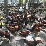 Làm giàu từ nuôi gà ta thả vườn
