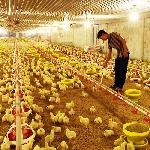 Nuôi gà ở trong nhà máy lạnh ở Lâm Đồng