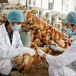 Quy trình phòng bệnh bằng thuốc và vaccin cho gà ( theo ngày tuổi)