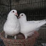 Chim bồ câu pháp giống chuẩn