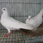 Cung cấp chim bồ câu pháp