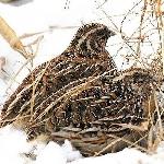 Đặc điểm và nguồn gốc chim cút