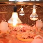 Cách nuôi gà con tại nhà đơn giản mà hiệu quả