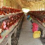 Mô hìnhnNuôi gà công nghiệp đẻ trứng như thế nào cho hiệu quả