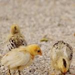 Quy trình phòng bệnh cho gà để phòng chống viêm đường hô hấp.